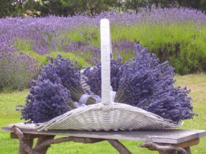 Lavender from Whidbey Island